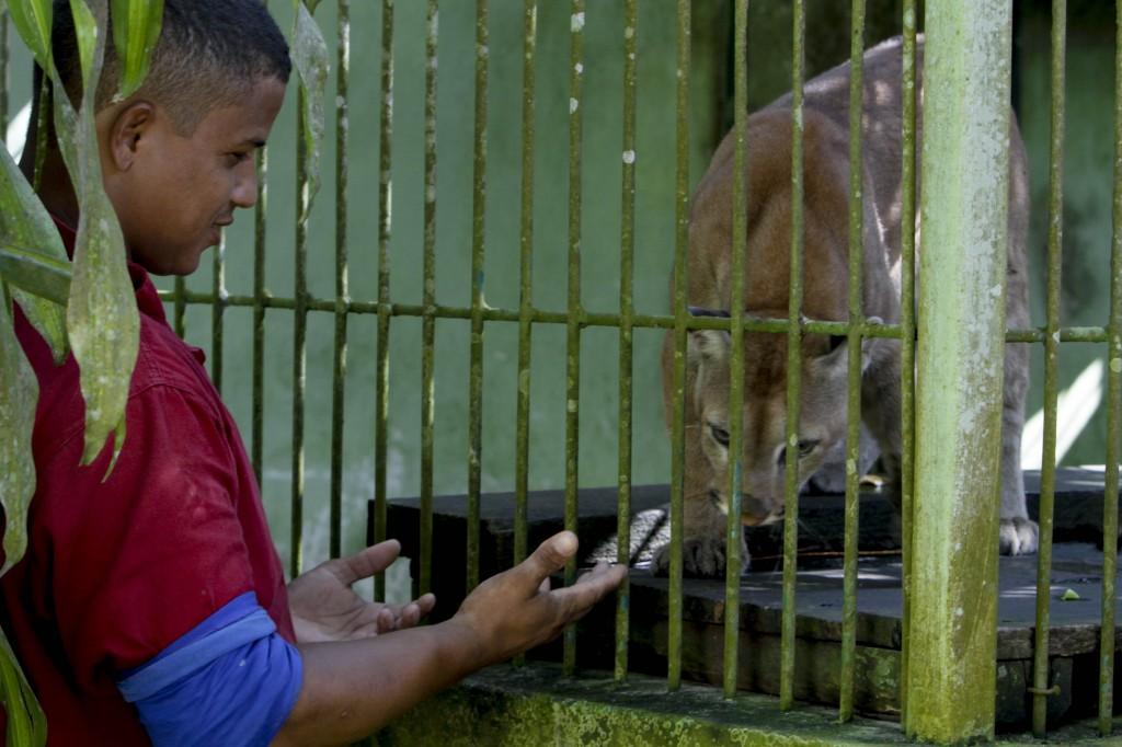 O tratador de animais do Ibama Francisco de Assis cuidou da onça parda Lucius (Foto: Alberto César Araújo/AmReal)