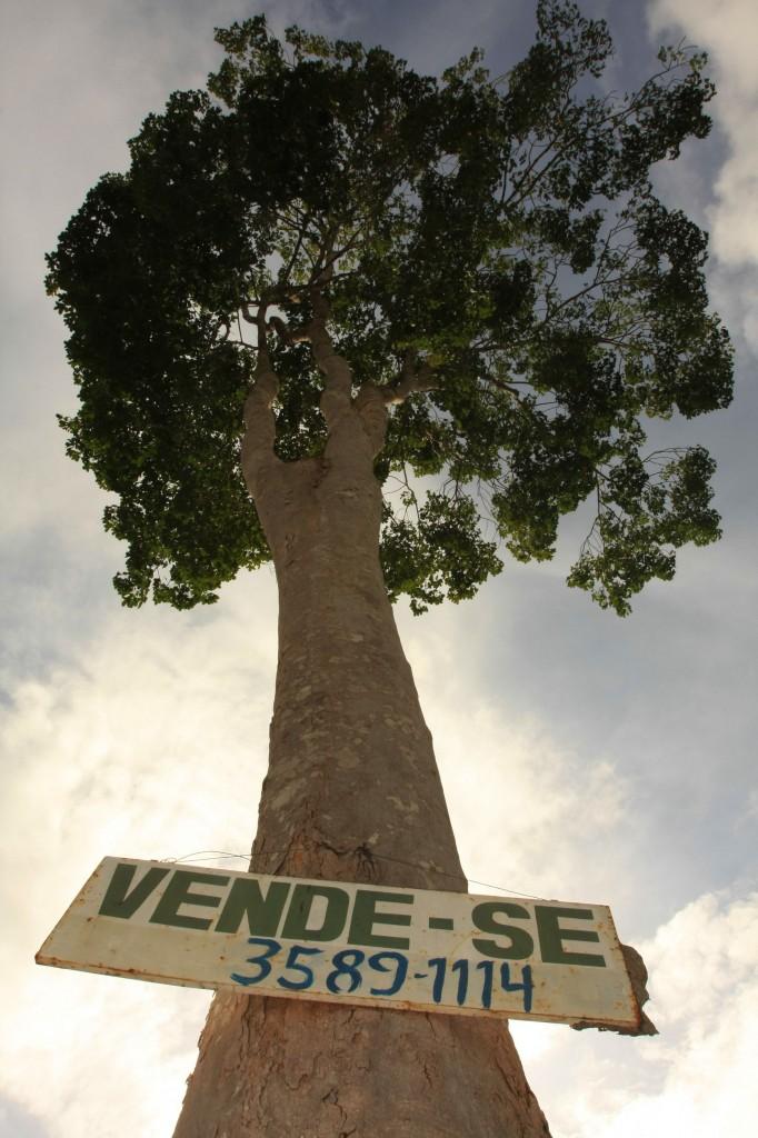 Em áreas de conflitos agrários as árvores nobres são derrubadas sem trégua. (Foto: Alberto César Araújo)