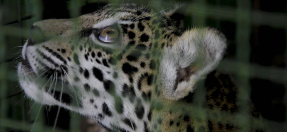 Desmatamento reduz em 10% a população de onças-pintadas na Amazônia