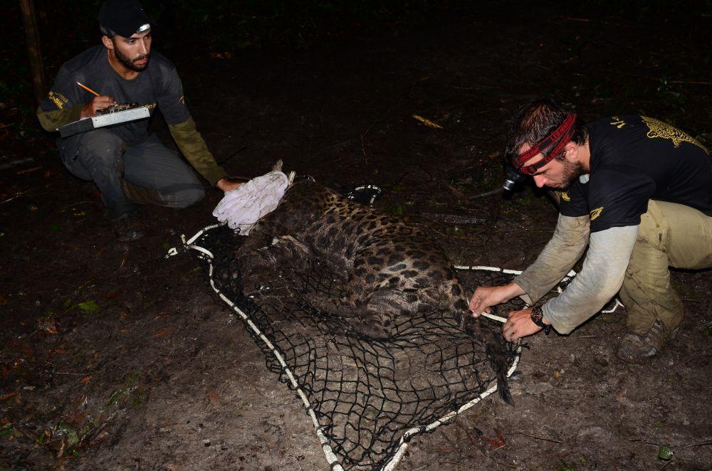 Onças da Reserva Mamirauá são monitoradas periodicamente. Foto: Brandi Jo Petronio.