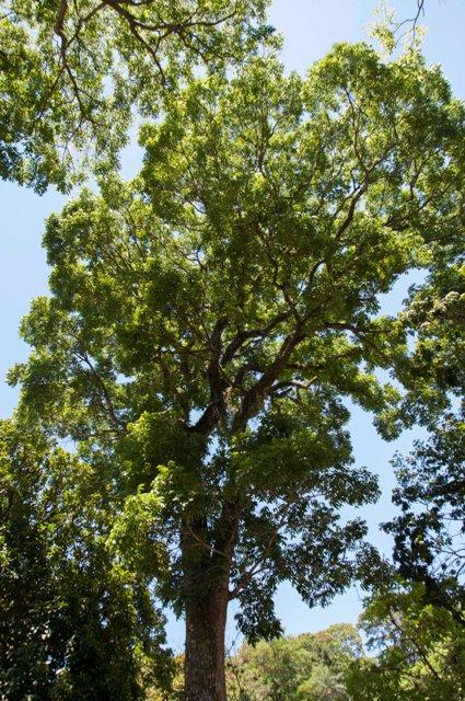 Mogno (Meliaceae_Swietenia_macrophylla), é uma outra espécie da lista. Foto: Lucas Moraes/CNC-Flora
