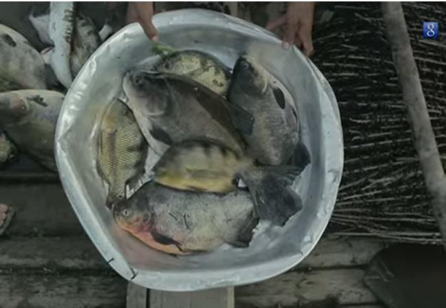 Produção do pescado será beneficiada com a máquina de energia solar (Foto: Mamirauá)