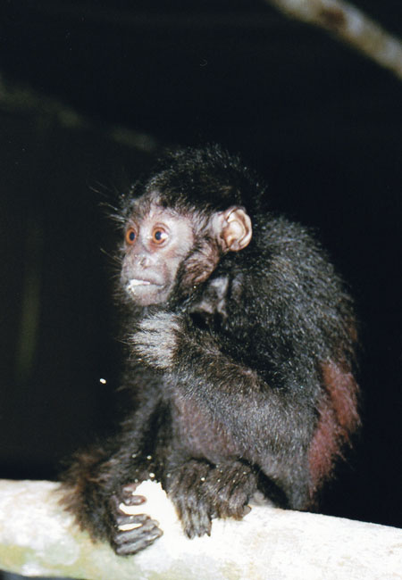 Descoberta nova espécie de primata na Amazônia
