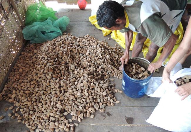 Produção de castanha beneficiou famílias do rio Unini (Foto Antonio Jiménez-Luque/FVA)