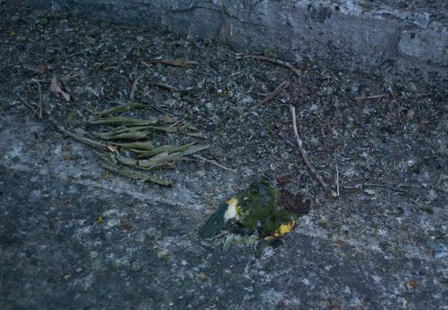 Periquito caiu da árvore morto e foi atropelado por veículo (Foto: Raphael Alves)