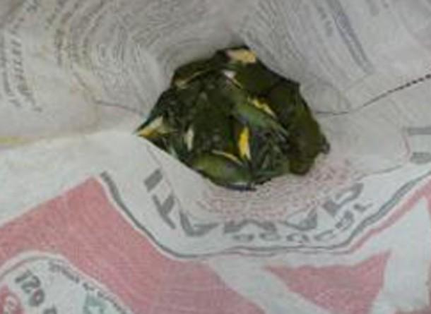Periquitos-de-asa-branca foram encontrados mortos e recolhidos para exame. (Foto: Ipaam)
