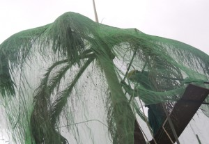 Bombeiro retira tela de palmeira imperial do condomínio (Foto: Ipaam)