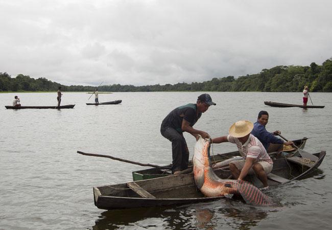 Em Mamirauá cada pescador tem cota para pescar 55 pirarucus. (Foto: Bruno Kelly)