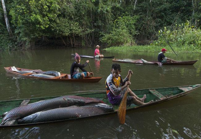 Pescadores fazem o manejo do pirarucu em Mamirauá, Amazonas. (Foto: Bruno Kelly)
