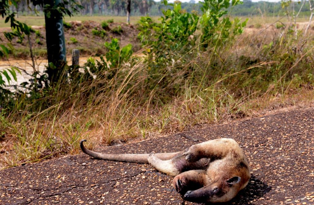 O tamanduá morreu na estrada após fugir das queimadas. (Foto: Chico Batata)