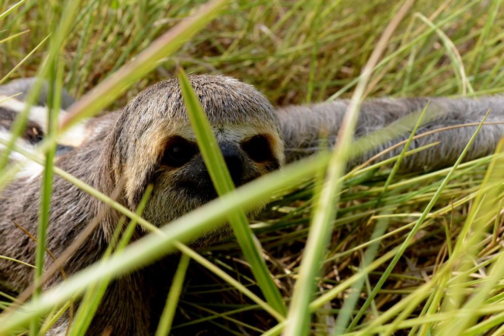 A agonia da preguiça fugindo da destruição da floresta (Foto: Chico Batata)