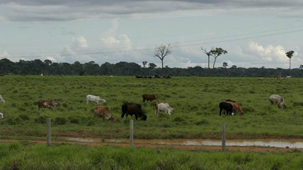 Região Sul do Amazonas tem produção de gado  (Foto: Amazônia Real)