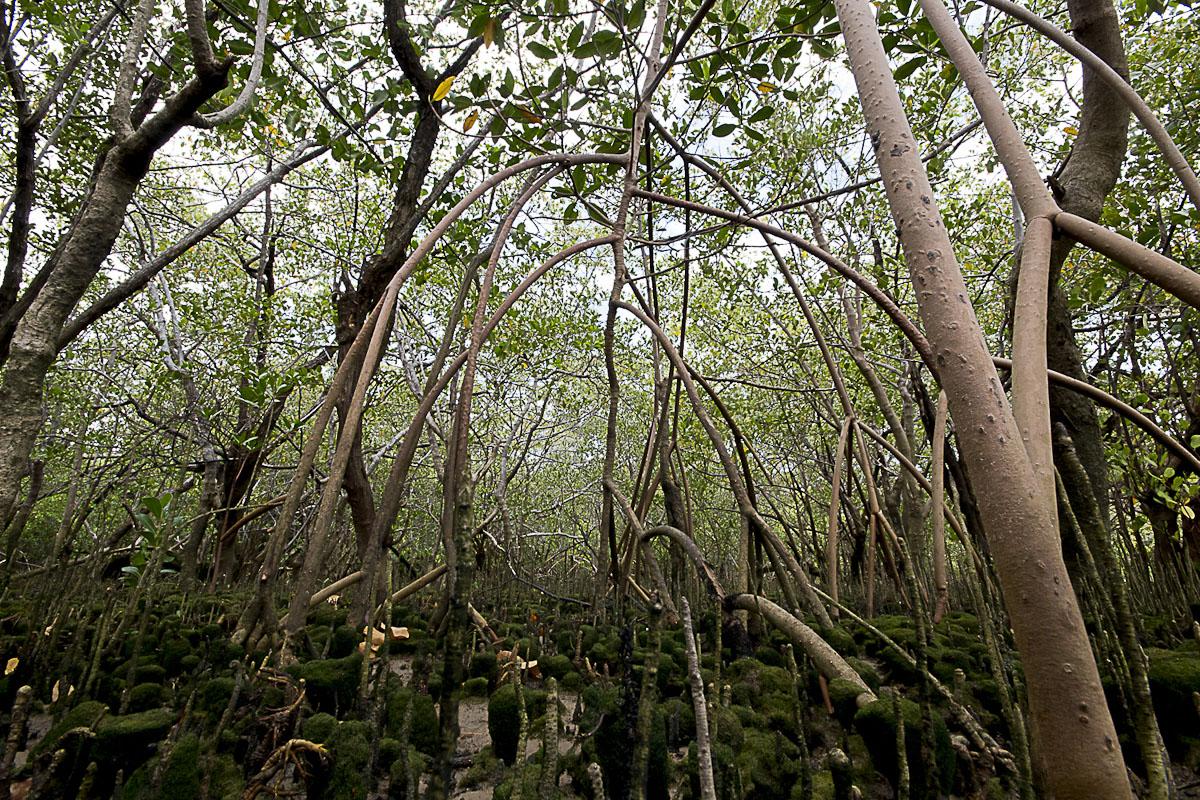 Raiz de mangue preto ou siriba, Praia do Barco, Alcântara, Maranhão. (Foto Ana Mendes/AmReal)
