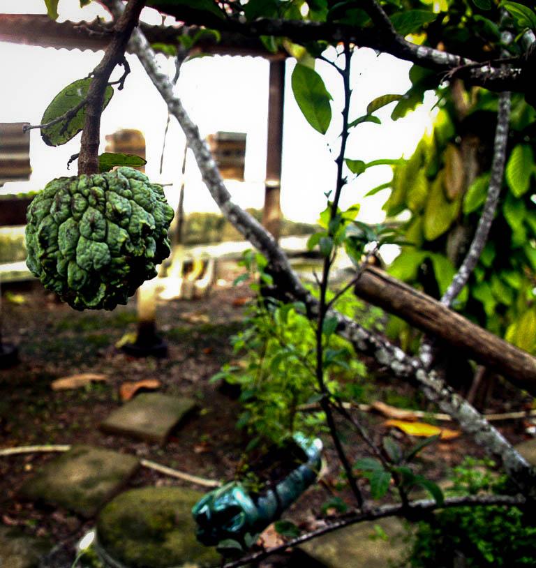 Fruta do Conde ou Ata no Quintal de Artêmio Guedes (Foto: Floriano Lins/AmReal)