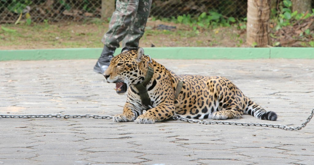 Juma estava acorrentada no evento olímpico (Foto: Jair Araújo/Amazônia Real)