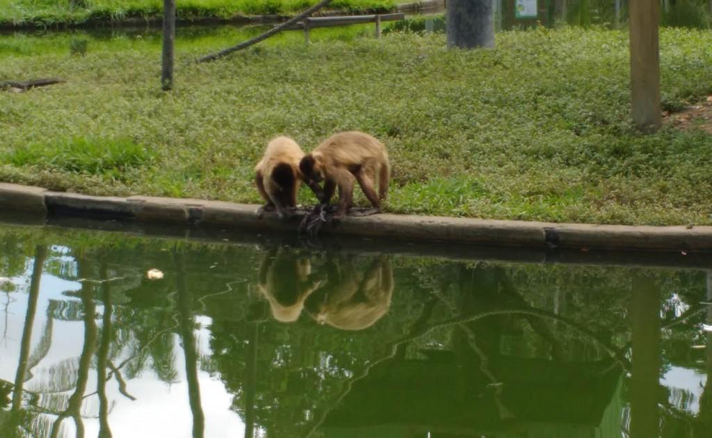 Os macacos no Zoo do CIGS (Foto: Fábio Pontes/AmReal)