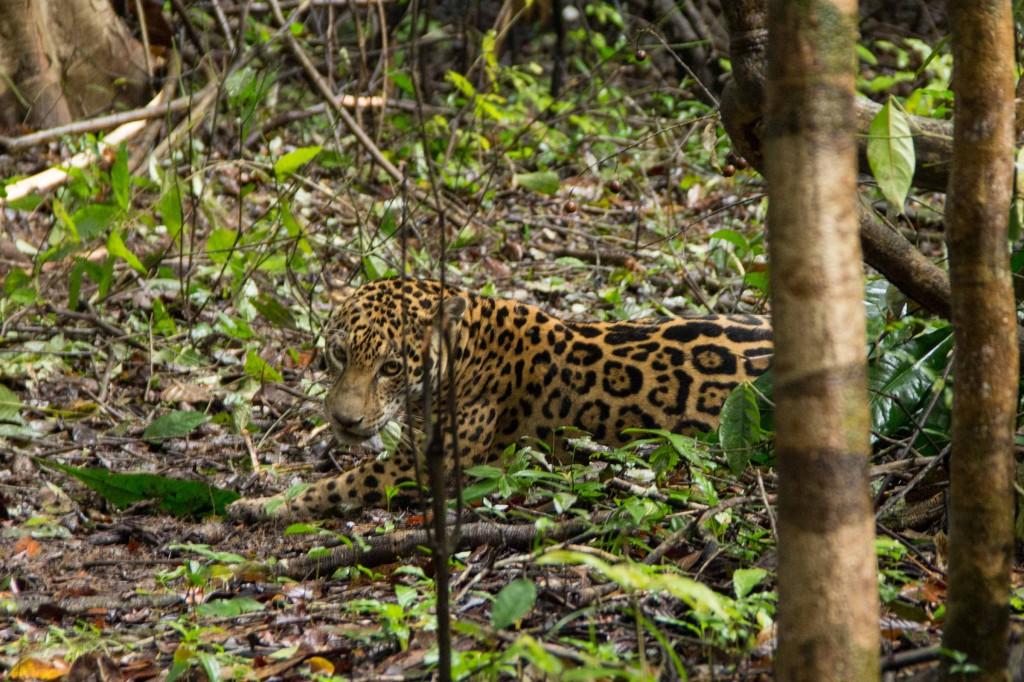 Uma onça-pintada em seu habitat natural na Reserva Mamirauá (Foto: Amanda Lelis)