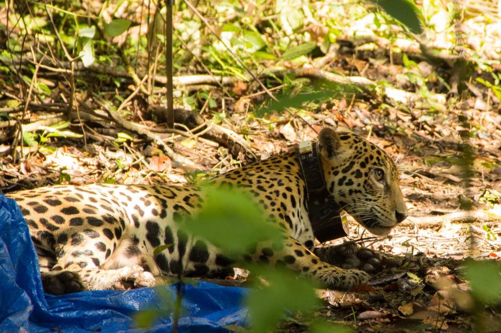 Uma onça em seu habitat natural na Reserva Mamirauá (Amanda Lelis)