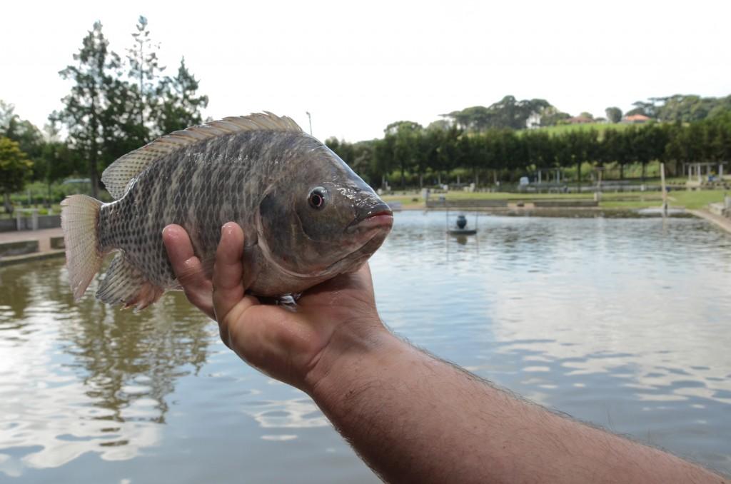 O peixe Tilápia (Foto: Roberto Dziura Jr./GOV-SP)
