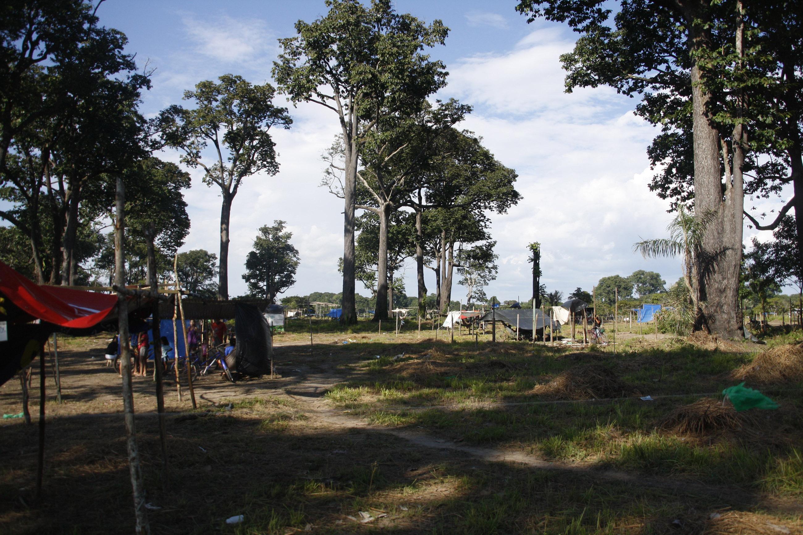 Castanheiras: rainhas-da-Amazônia sem súditos