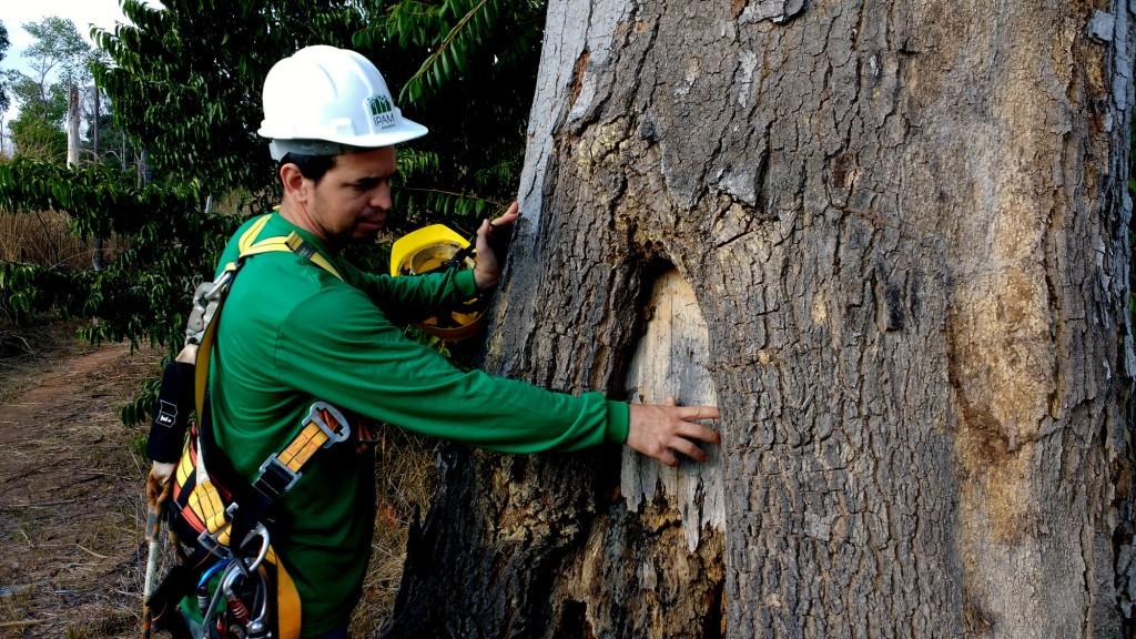 Pesquisador Paulo Brando analisa o impacto do fogo na árvore (Foto: Fábio Pontes/Amazônia Real)