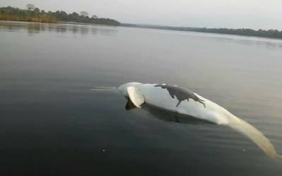 Boto morto emergiu no rio Teles Pires (Foto: MPF-MT)