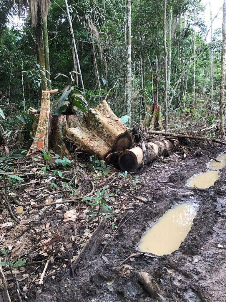 Castanheira derrubada por madeireiros na TI Uru-Eu (Associação Kanindé)