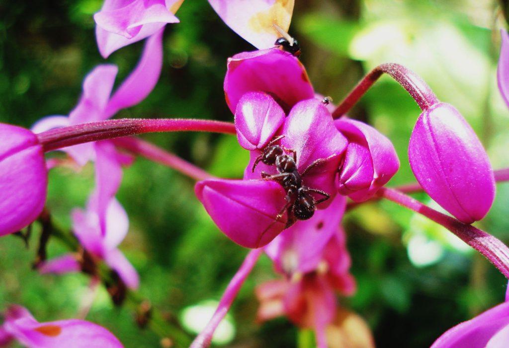 Orquídea Coio (Foto: Floriano Lins)