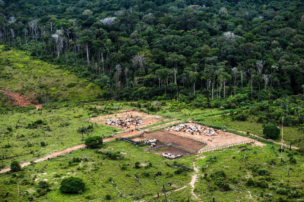 Criação de gado nos limites da Floresta Nacional de Urupadi, em Apúí (Foto Daniel Beltrá/Greenpeace)