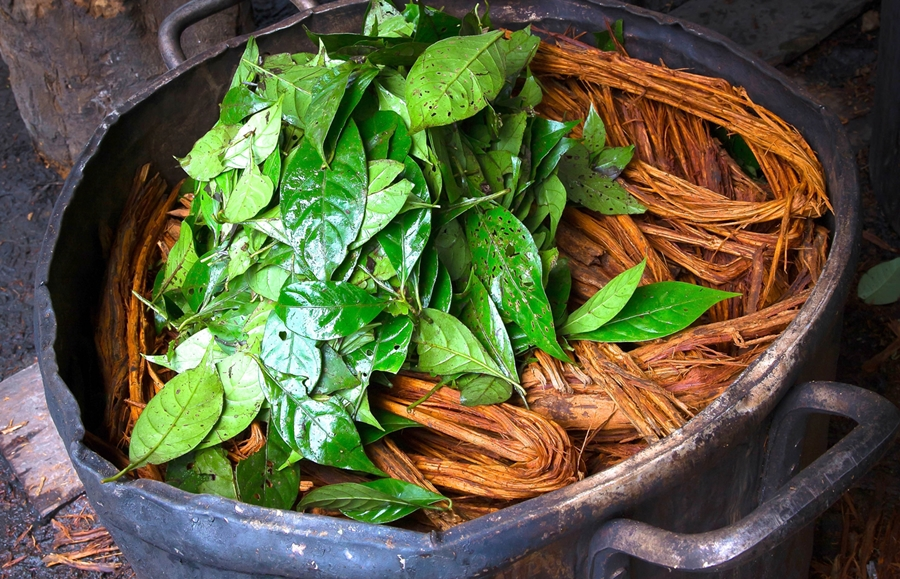 Ayahuasca is prepared with the jagube vine and the chacrona leaves collected in the Amazon forest (Photo: Santo Daime)