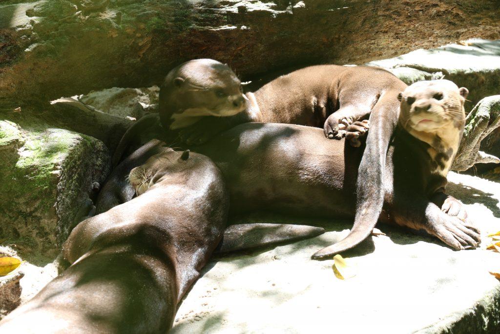 Erê, Castanha e Pupunha no Zoo do Museu Emílio Goeldi (Foto: Antônio Messias)