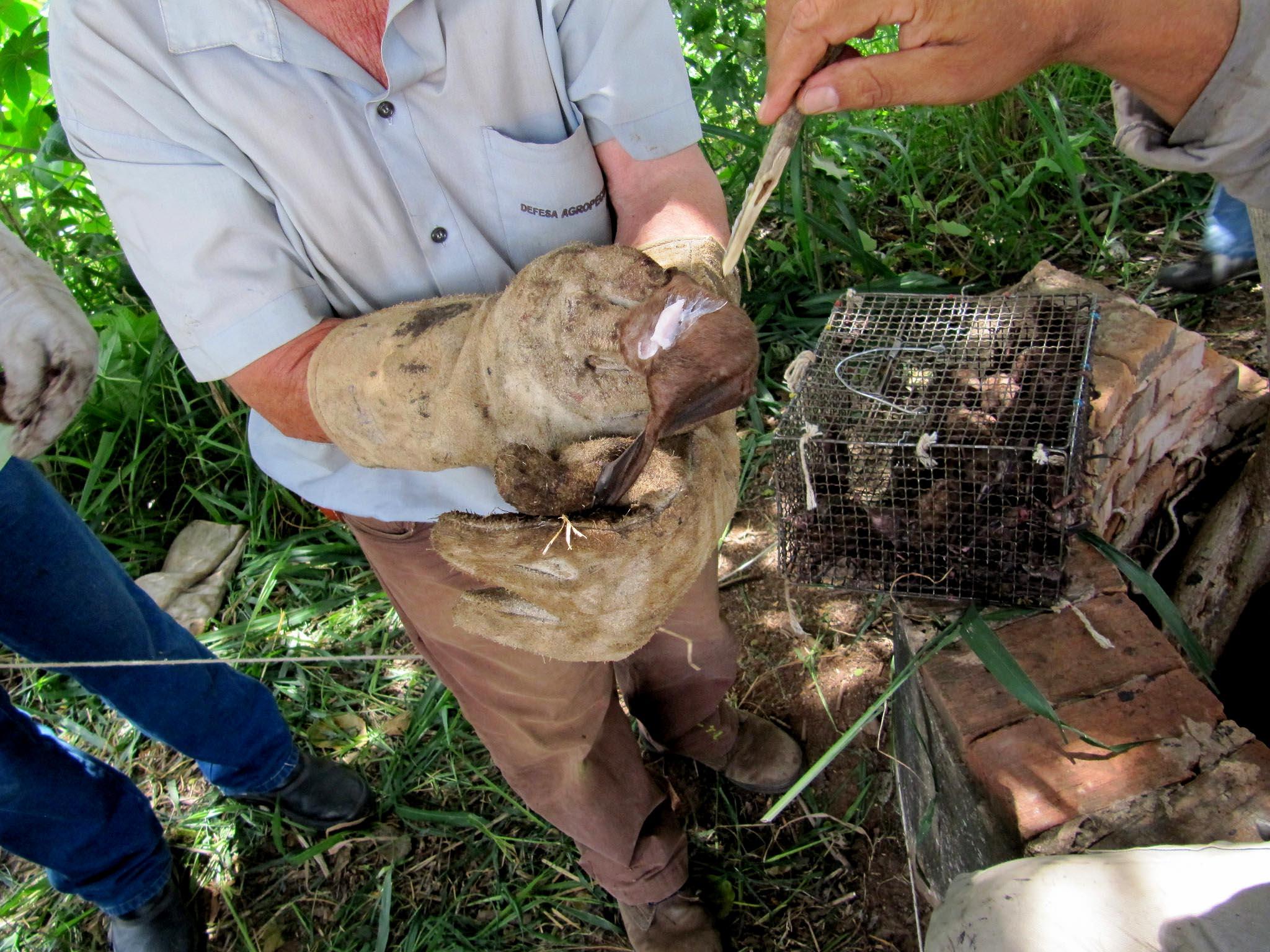 Especialista faz alerta para o uso de veneno em morcegos no Rio Unini