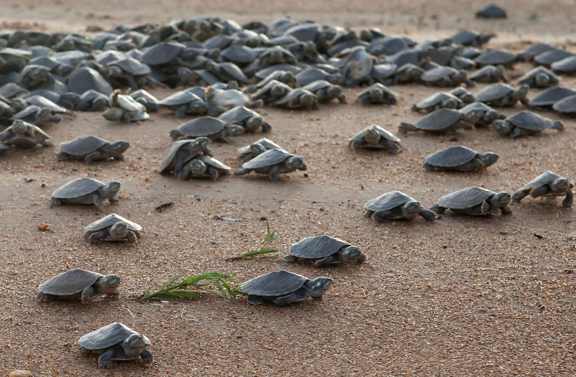 Protegendo a tartaruga-da-amazônia