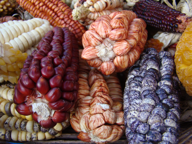 Populações da Amazônia ajudaram a domesticar o milho há 6.500 anos