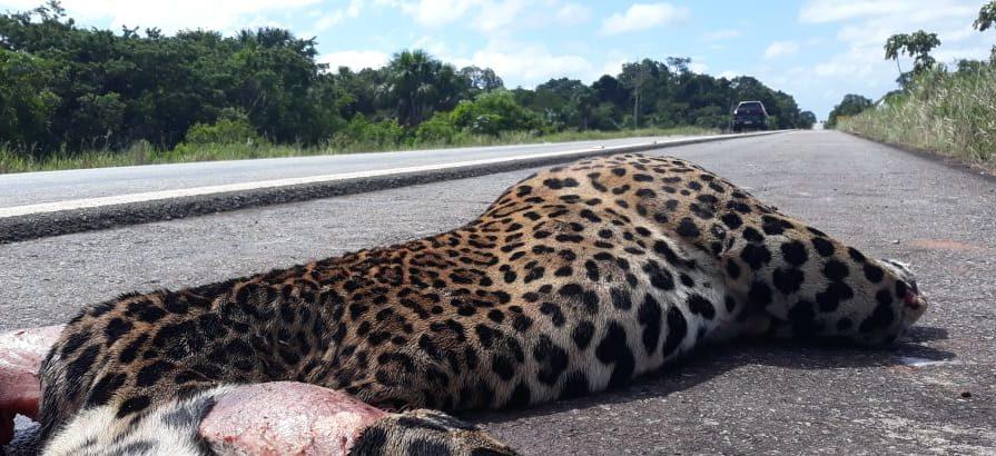 Onça-pintada atropelada e decapitada expõe alta matança de animais silvestres na BR-174