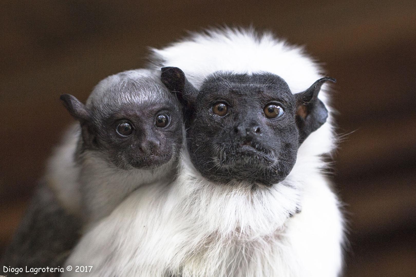 Primatas são os mamíferos mais ameaçados da Amazônia