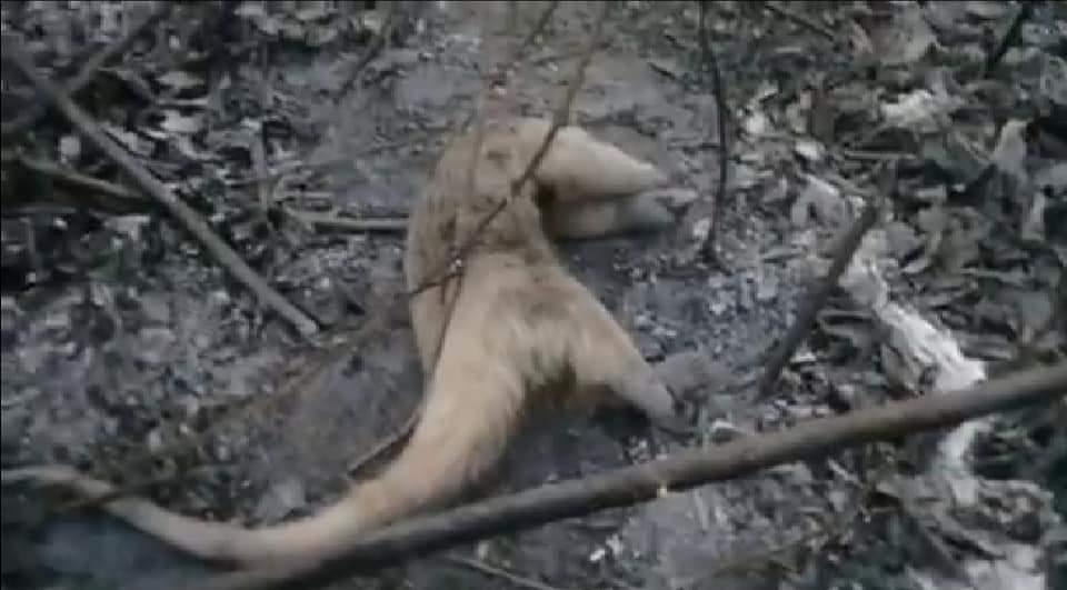 Amazônia Em Chamas Indígenas Huni Kuin Perdem Animais E