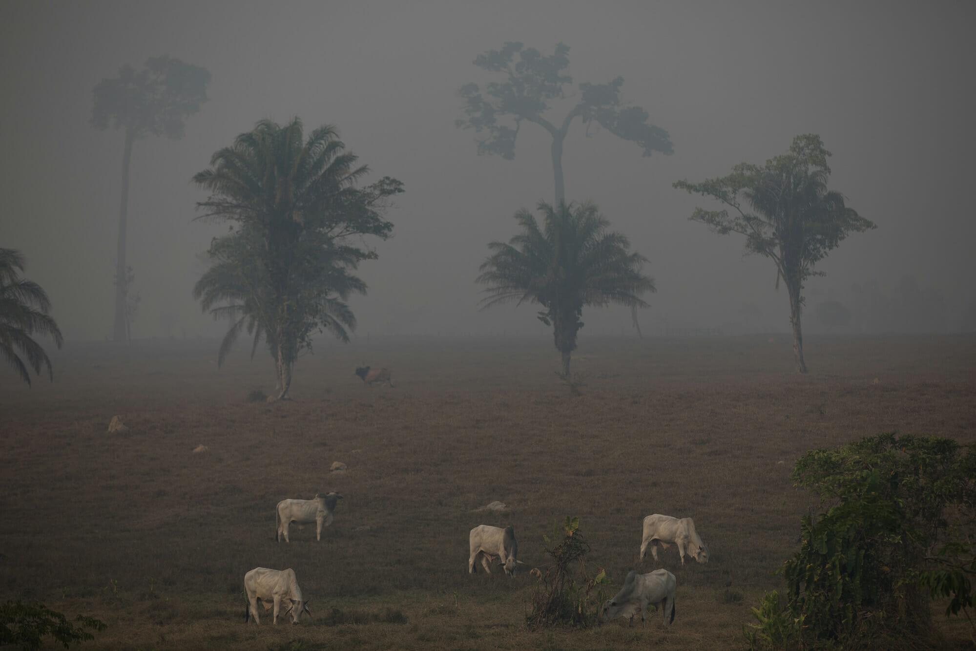 O Desmatamento da Amazônia Brasileira: 11 – Pecuária