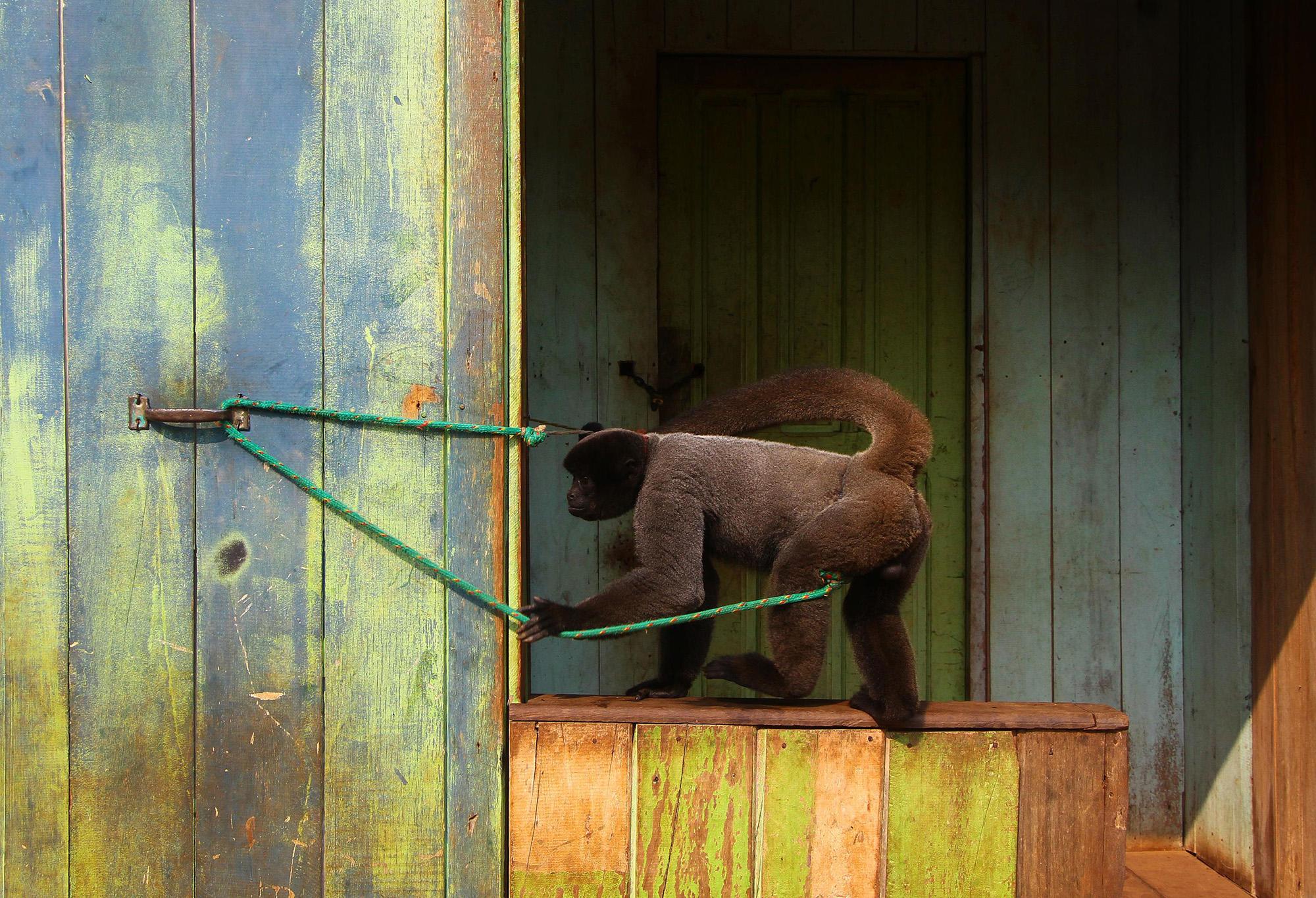 Centro de Triagem de Animais Silvestres em Manaus está lotado